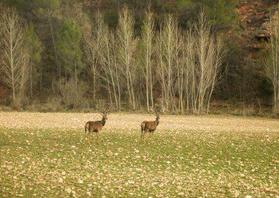 Ciervos. Tuvimos mucha suerte y el guarda de la finca particular nos llevó al otro lado de la reserva con su todo terreno.